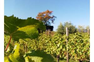 Il vino che rischiava l'estinzione: una speranza o la natura è condannata? La storia della famiglia Perusini e del Picolit